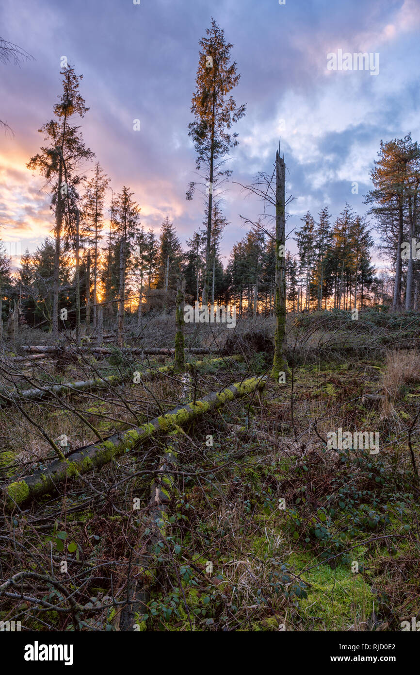 Wind felled conifer trees near Monmouth, South Wales. - Stock Image