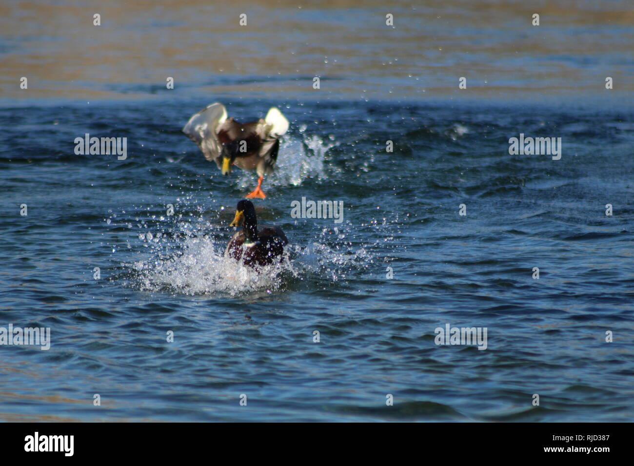 Mallards fighting on the Colorado River, Bullhead City Arizona - Stock Image
