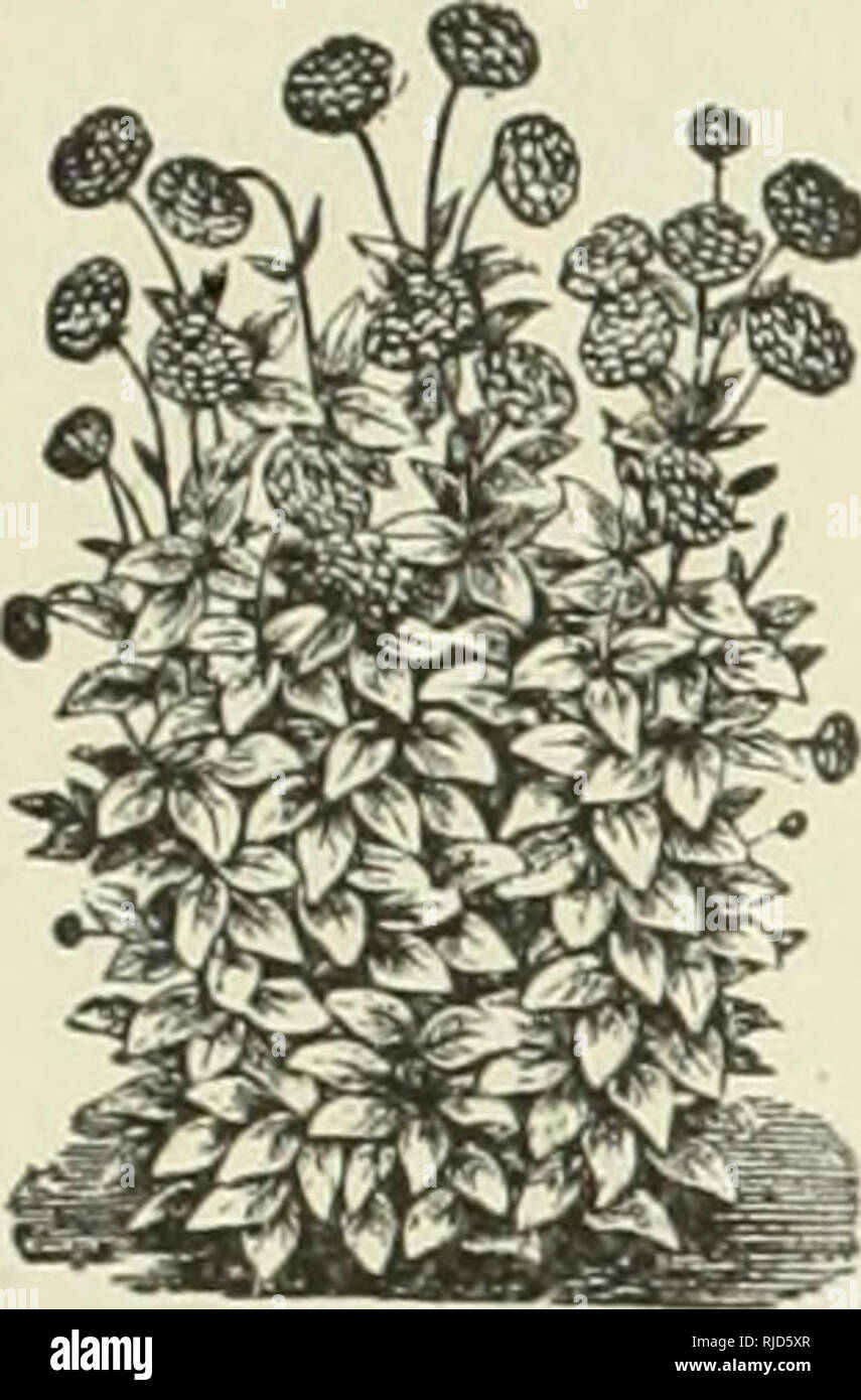. C.E. Allen's catalogue of seeds plants and small fruits, 1888. Nurseries (Horticulture) Vermont Brattleboro Catalogs; Nursery stock Vermont Brattleboro Catalogs; Seeds Vermont Brattleboro Catalogs; Plants Vermont Brattleboro Catalogs; Flowers Vermont Brattleboro Catalogs; Fruit Vermont Brattleboro Catalogs. •^Plant and geed Catalogue.^i- 63. clusters of small pinkish white flowers, extremely fragrant. 25 cents each. DAHLIA. The Dahlia succeeds best in a strong, loamy soil. Plants should be set four feet apart. One of the most attractive autumn flowers, blooming from August until killed by fr Stock Photo