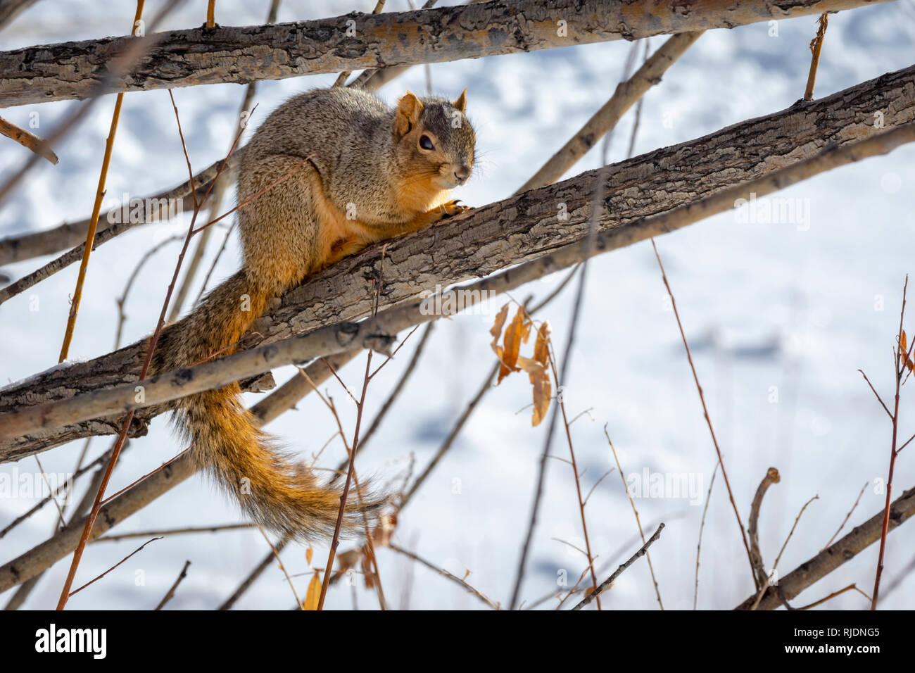 Eastern Fox Squirrel (Sciurus niger) resting in winter, Castle Rock  Colorado US. Photo taken in January. Stock Photo