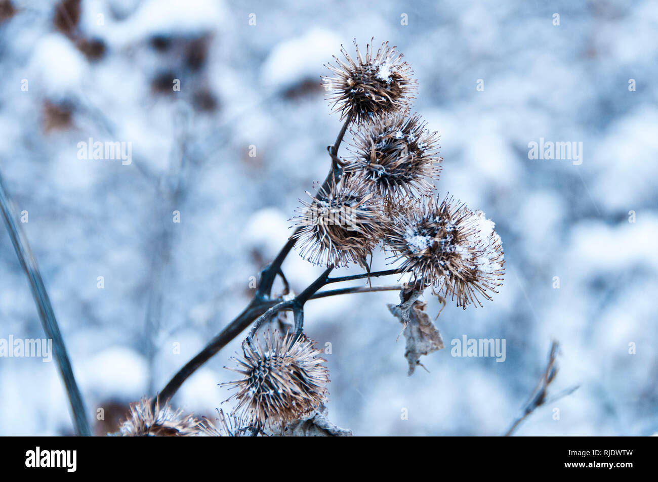 dry common Thistle plants covered with snow in winter - Stock Image