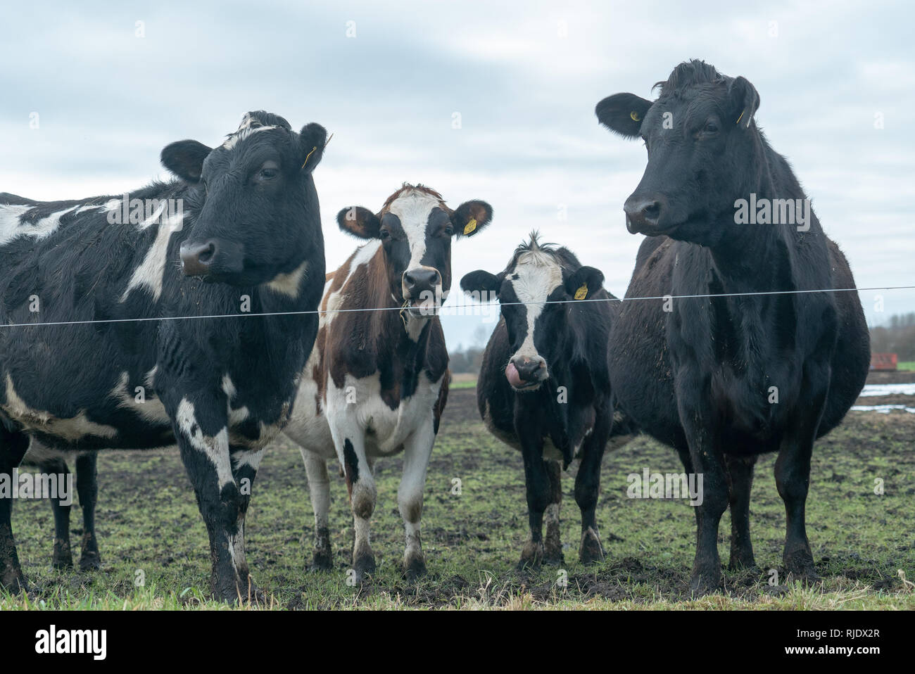 Hungry Cattle Searching For Food - Stock Image