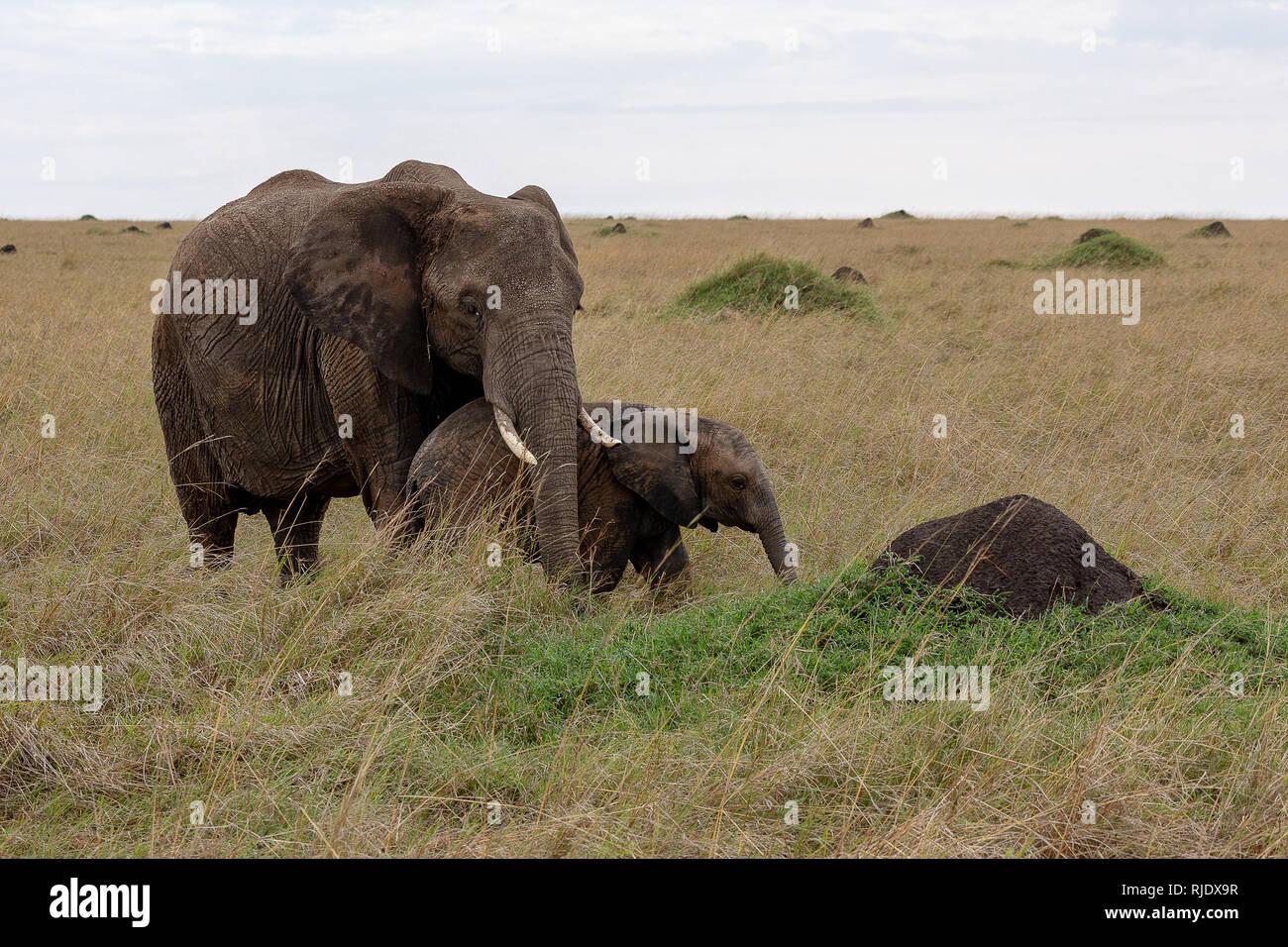 African elephant in Kenya, Africa - Stock Image