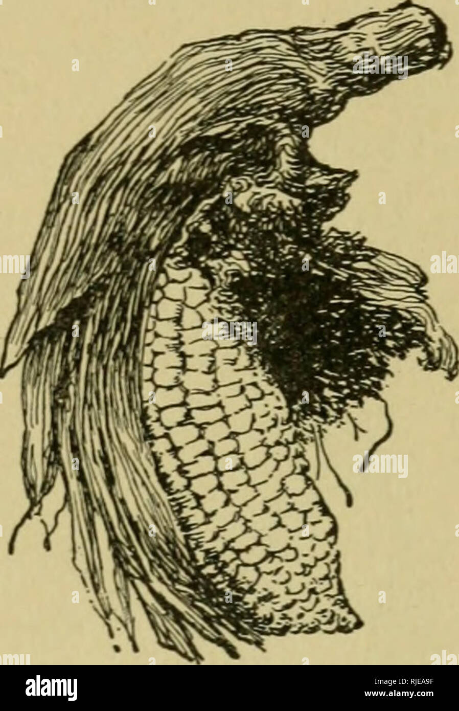 The cereals in America  DISEASES OF MAIZE 245 agreed that