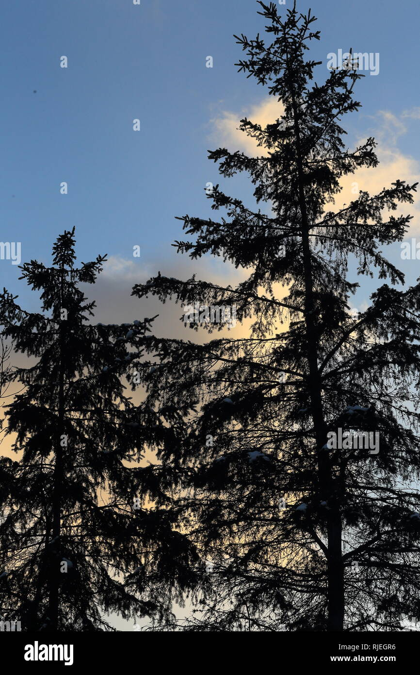 Tall softwood trees in the winter - Stock Image