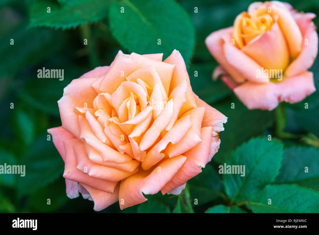 9e90481e84a9 Atlantic Star Stock Photos   Atlantic Star Stock Images - Alamy