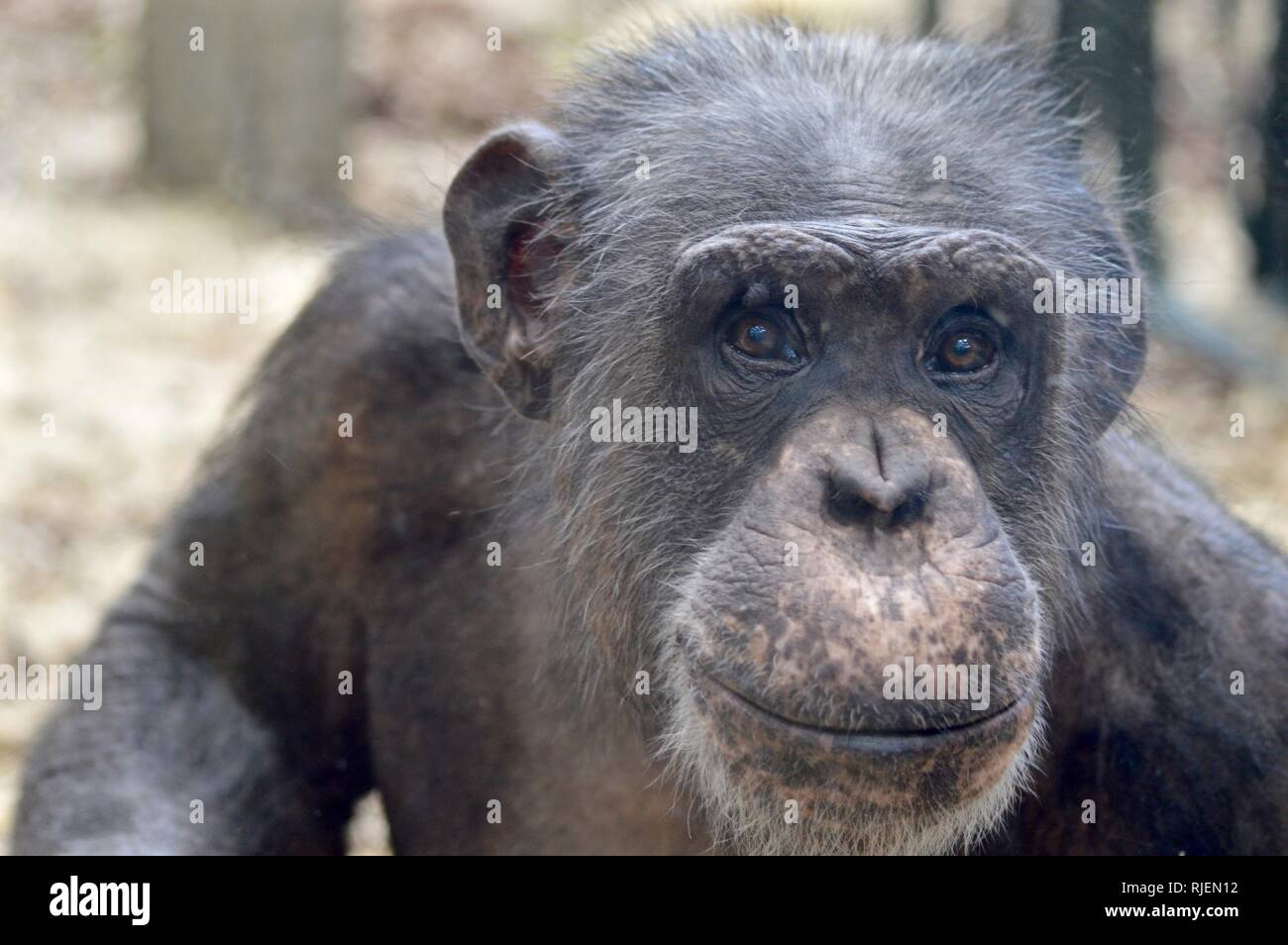 Flynn the chimpanzee - Stock Image