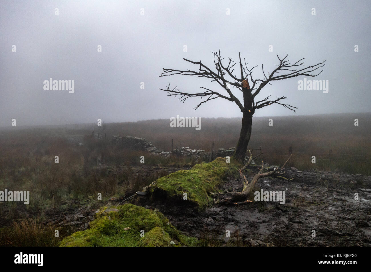 Silhouette of  tree standing alone in a foggy winter day field at Tinkler's Brook, Oswaldtwistle, Blackburn, England - Stock Image