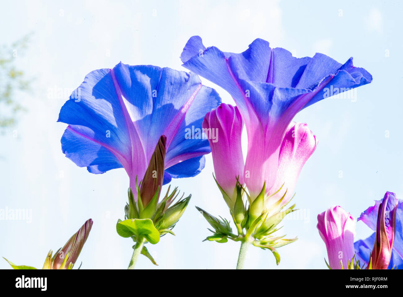 blue morning glory blooming with deep blue blossoms - Stock Image