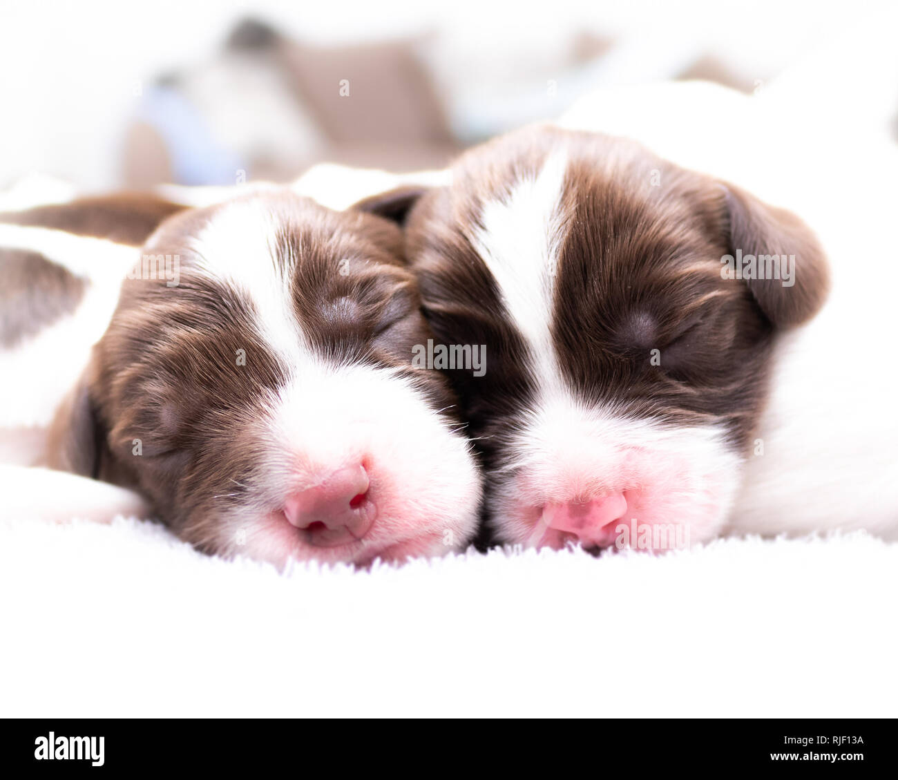 English Springer Spaniel Puppies - Stock Image