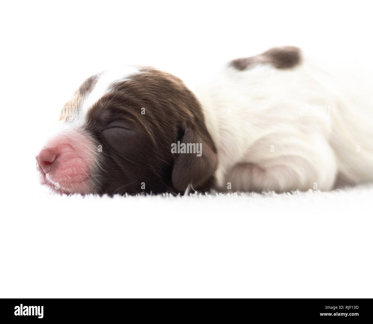 English Springer Spaniel Puppy - Stock Image