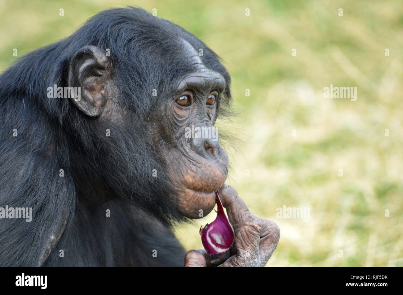 Thoughtful Bonobo - Stock Image
