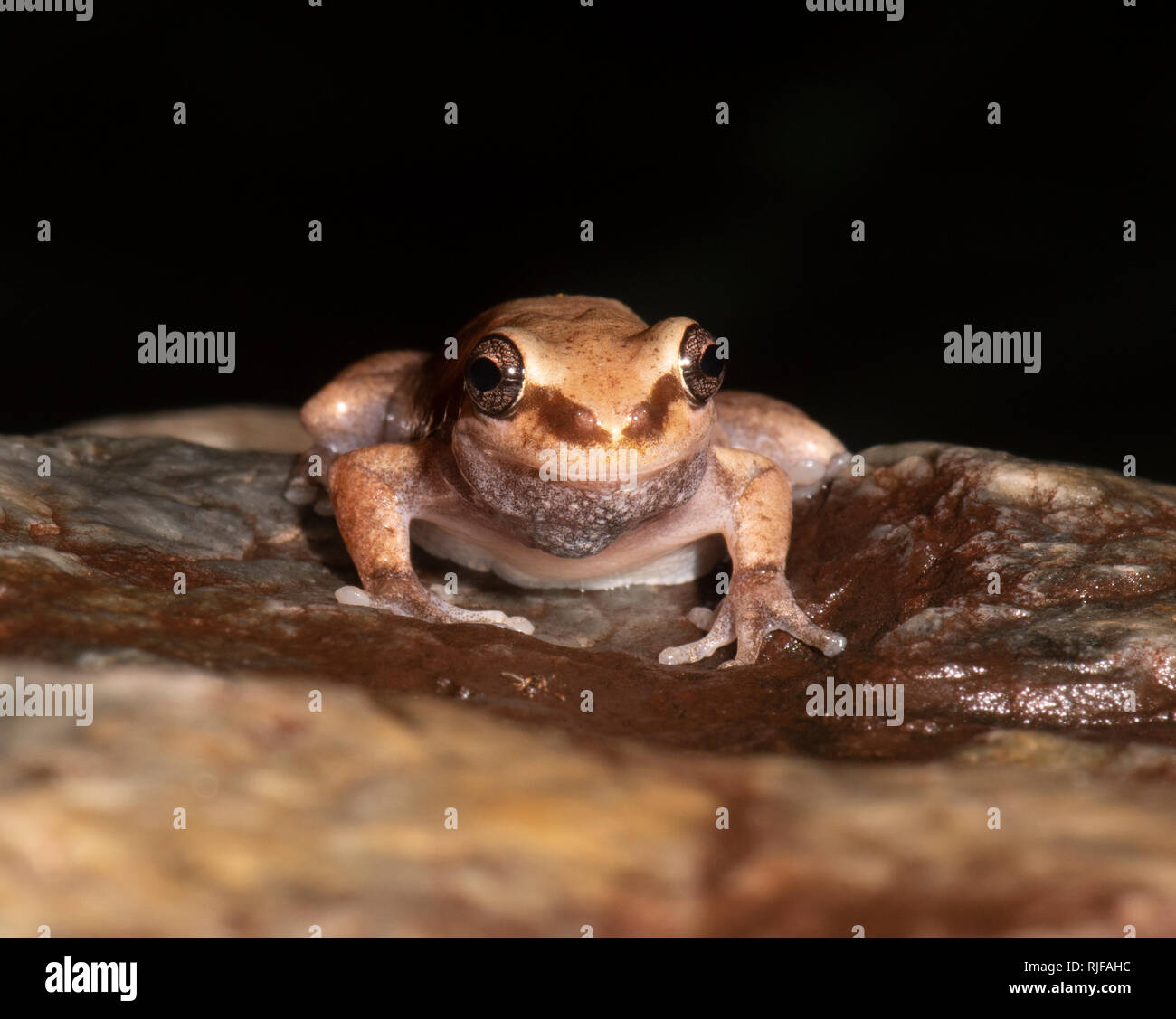 Desert Tree Frog (Litoria rubella) front on, Cairns, Far North Queensland, FNQ, QLD, Australia - Stock Image
