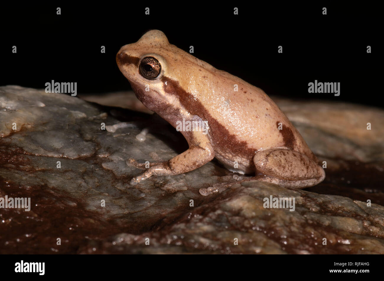 Sideways view of a Desert Tree Frog (Litoria rubella), Cairns, Far North Queensland, FNQ, QLD, Australia - Stock Image