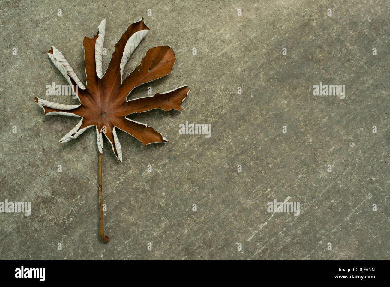 Fallen decayed tree leaf against concrete, neutral background. Autumn concept with copy space. RF, Tayrona Park, Colombia - Stock Image