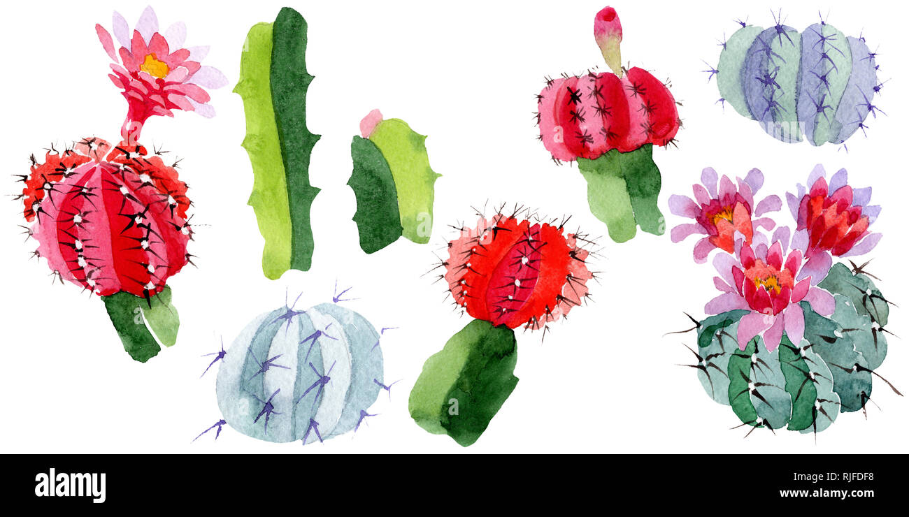 Green red cactus floral botanical flower wild spring leaf wildflower isolated watercolor background illustration set watercolour drawing fashion aq