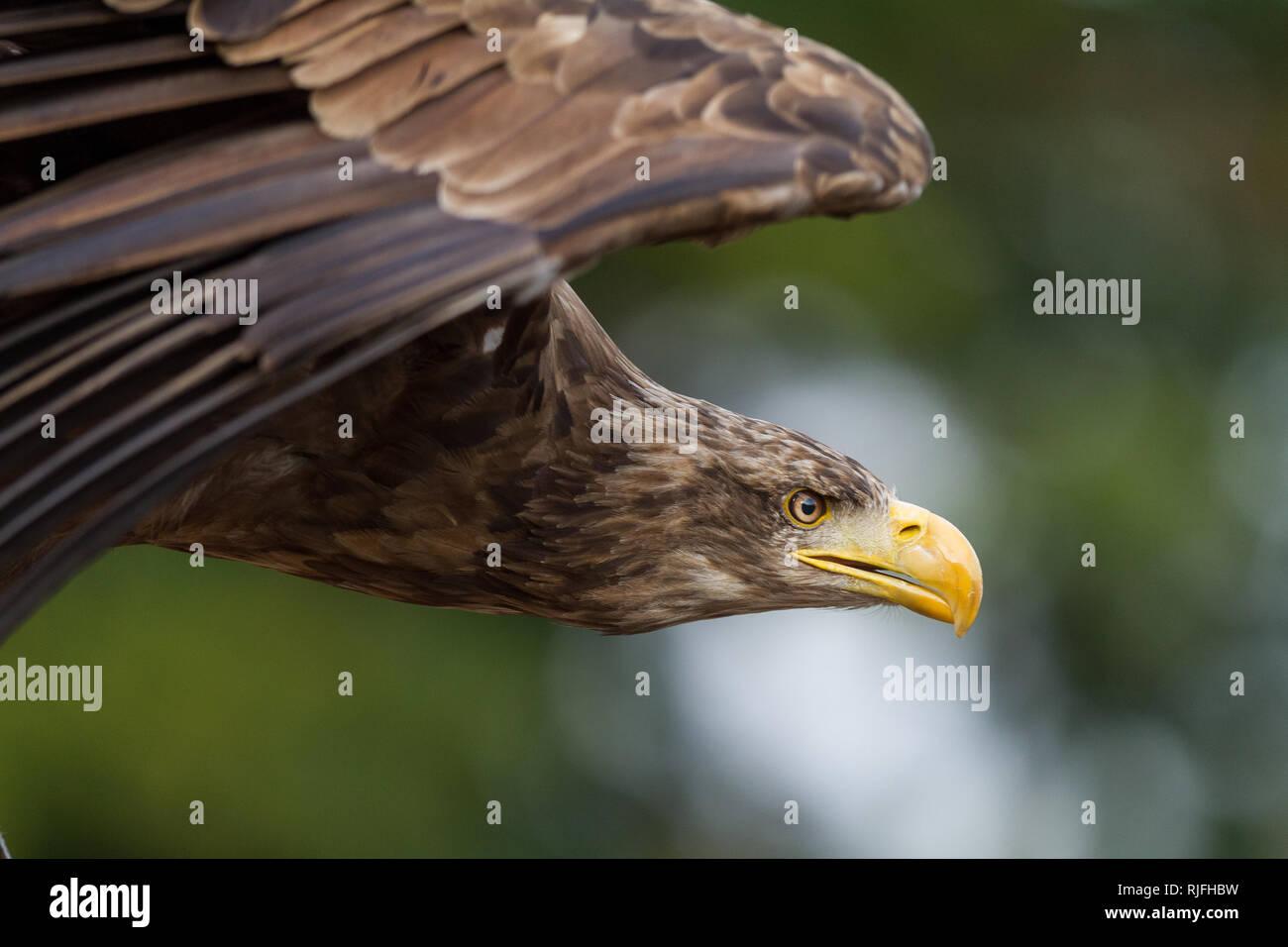 Sea Eagle in the sky Stock Photo