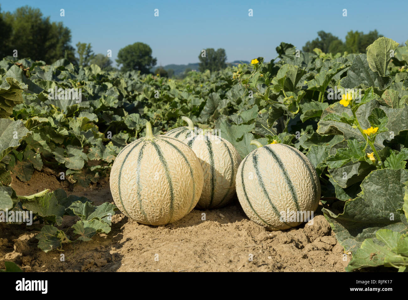 Cultivation of melon from Quercy in the Tarn-et-Garonne department (south-eastern France). Melons in a field - Stock Image