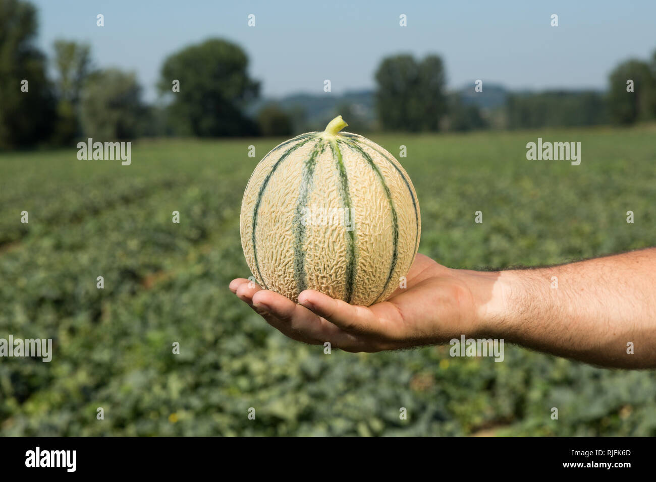 Cultivation of melon from Quercy in the Tarn-et-Garonne department (south-eastern France). Melon in a hand - Stock Image