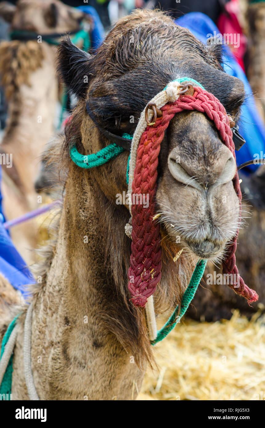 El camello medieval - Stock Image