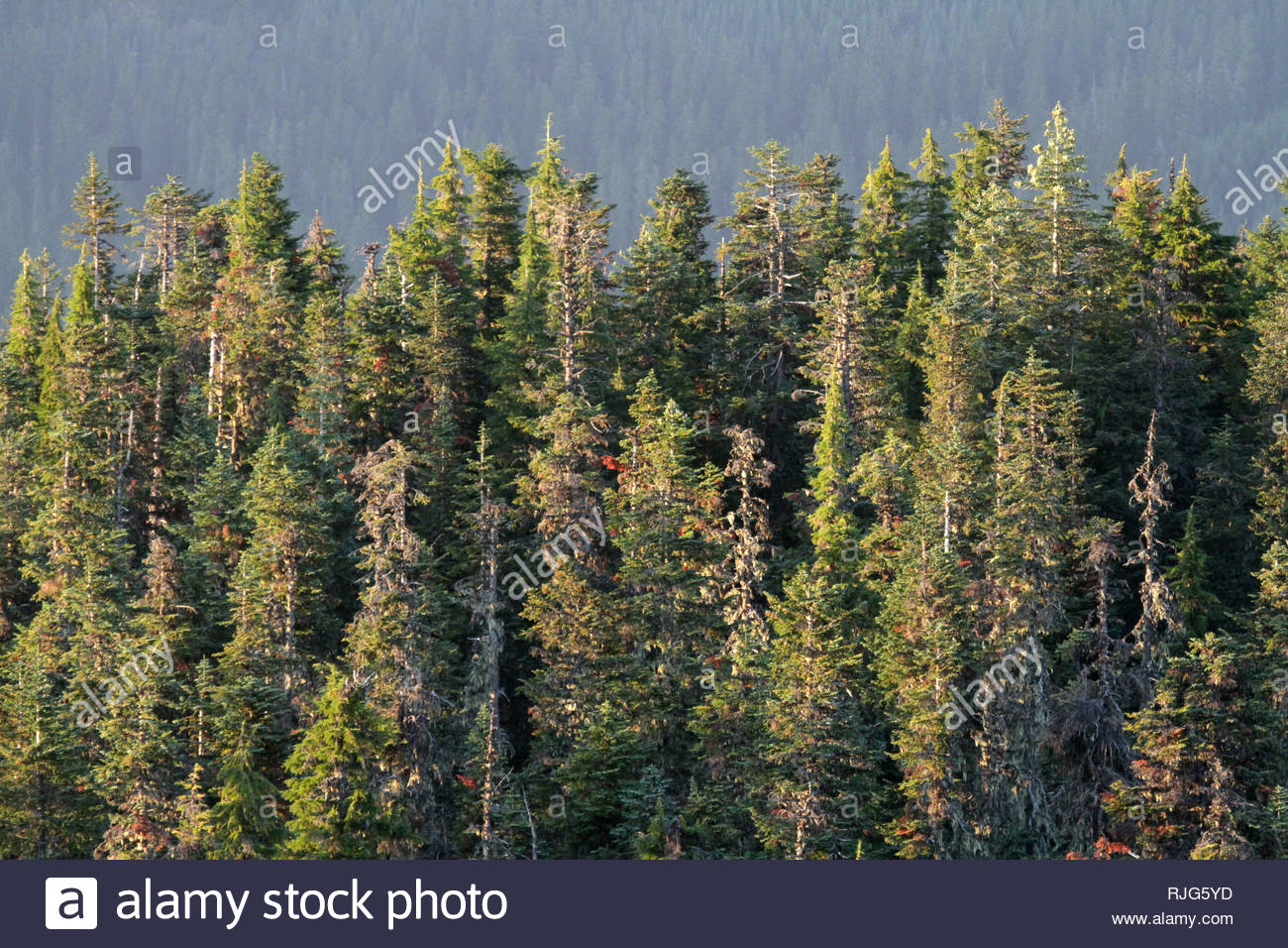 Mixed Montane conifer forest of trees, from Carpenter Mountain fire lookout, H.J. Andrews Forest, Willamette National Forest, Oregon, USA - Stock Image