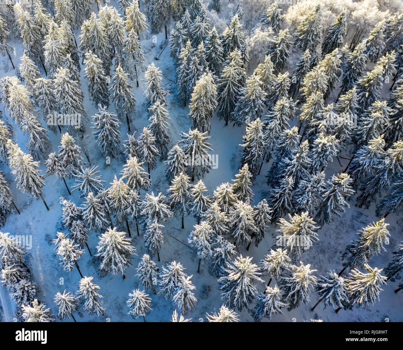 Drones shot, snow-covered Spruces (Picea) from above in winter, Taunus, Hesse, Germany Stock Photo