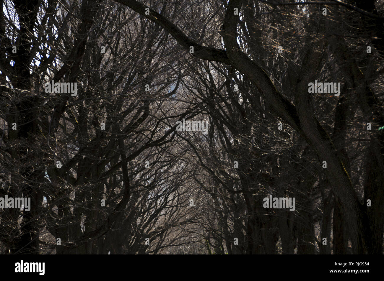 A row of tall hibernating trees in winter forming a canopy with its leafless branches. - Stock Image