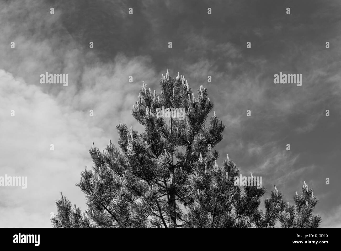Majestic pine tree with male pollen-bearing cones in early spring with cloudy sky in the background black and white - Stock Image