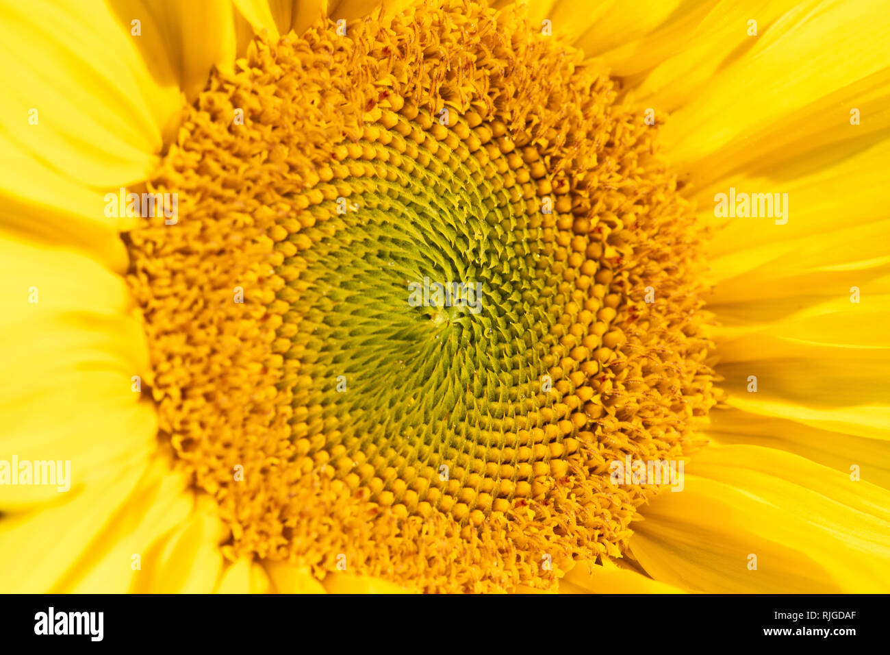 detail shot from a big yellow sunflower - Stock Image