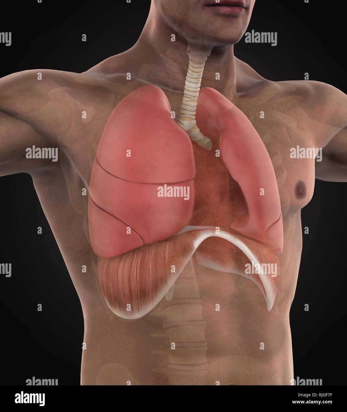 Human Respiratory System Illustration - Stock Image