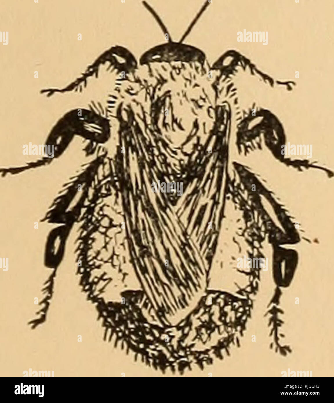 The bee people  Bees  Bombus, the Bumble-Bee  177 watch the
