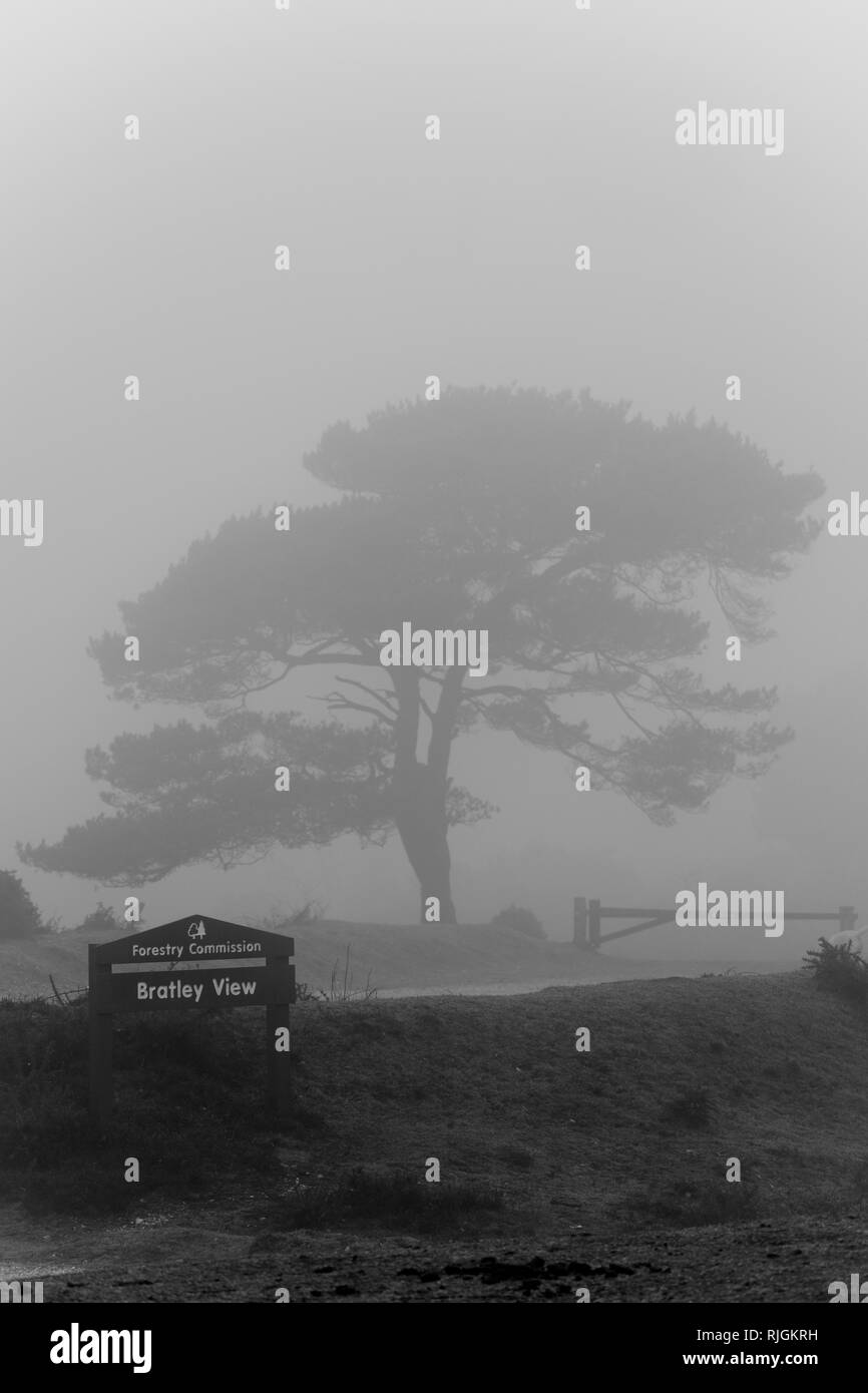 Black & Whire version. A lone scot pine tree at Bratley View in the New Forest national park in Hampshire - Stock Image