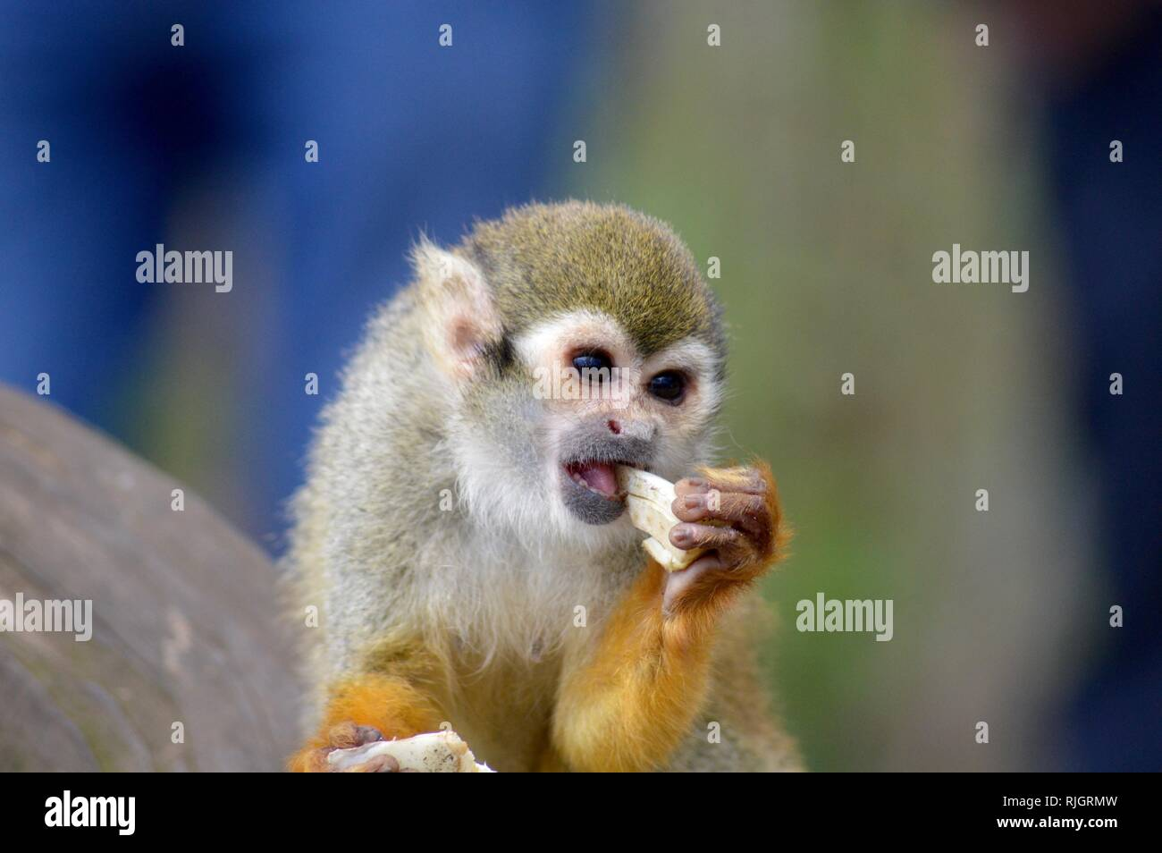 Squirrel monkey having a snack - Stock Image