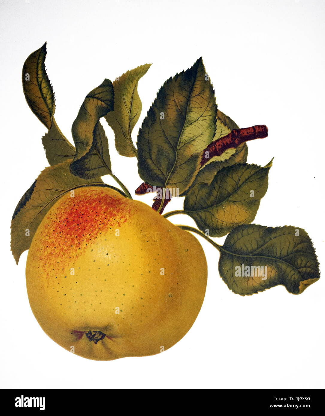 A painting depicting the fruit of an Indian bael, also known as a bael, Bengal quince, golden apple, Japanese bitter orange, stone apple or wood apple, a species of tree native to the Indian subcontinent and Southeast Asia. Dated 19th century - Stock Image