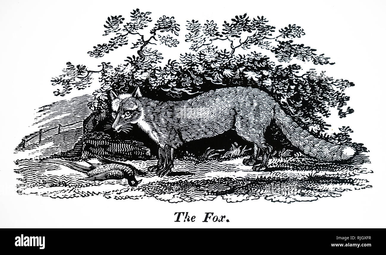 An engraving depicting a fox with a dead pheasant. Dated 19th century - Stock Image