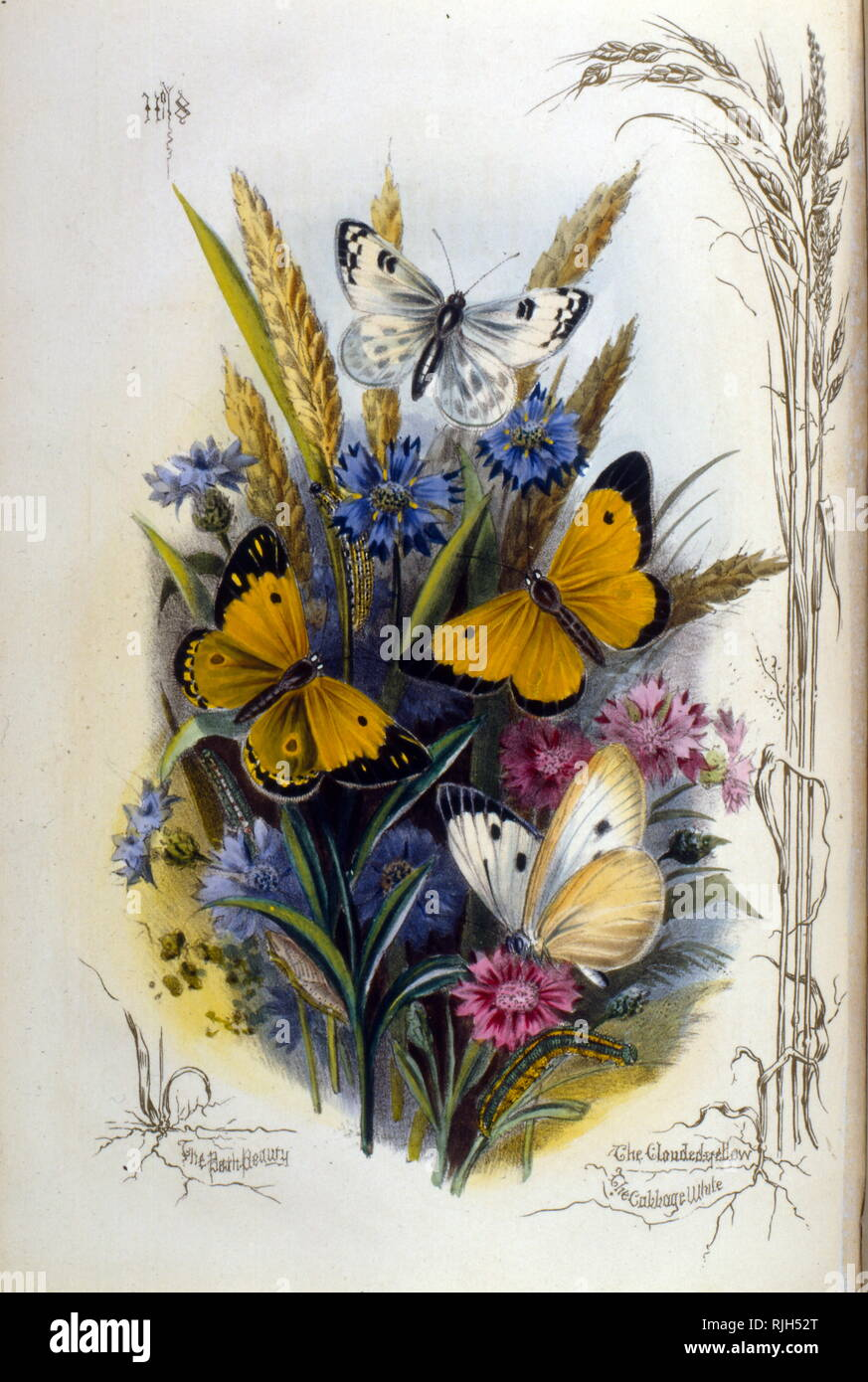 Illustration of various butterflies on blue and mauve flowers 1910 - Stock Image