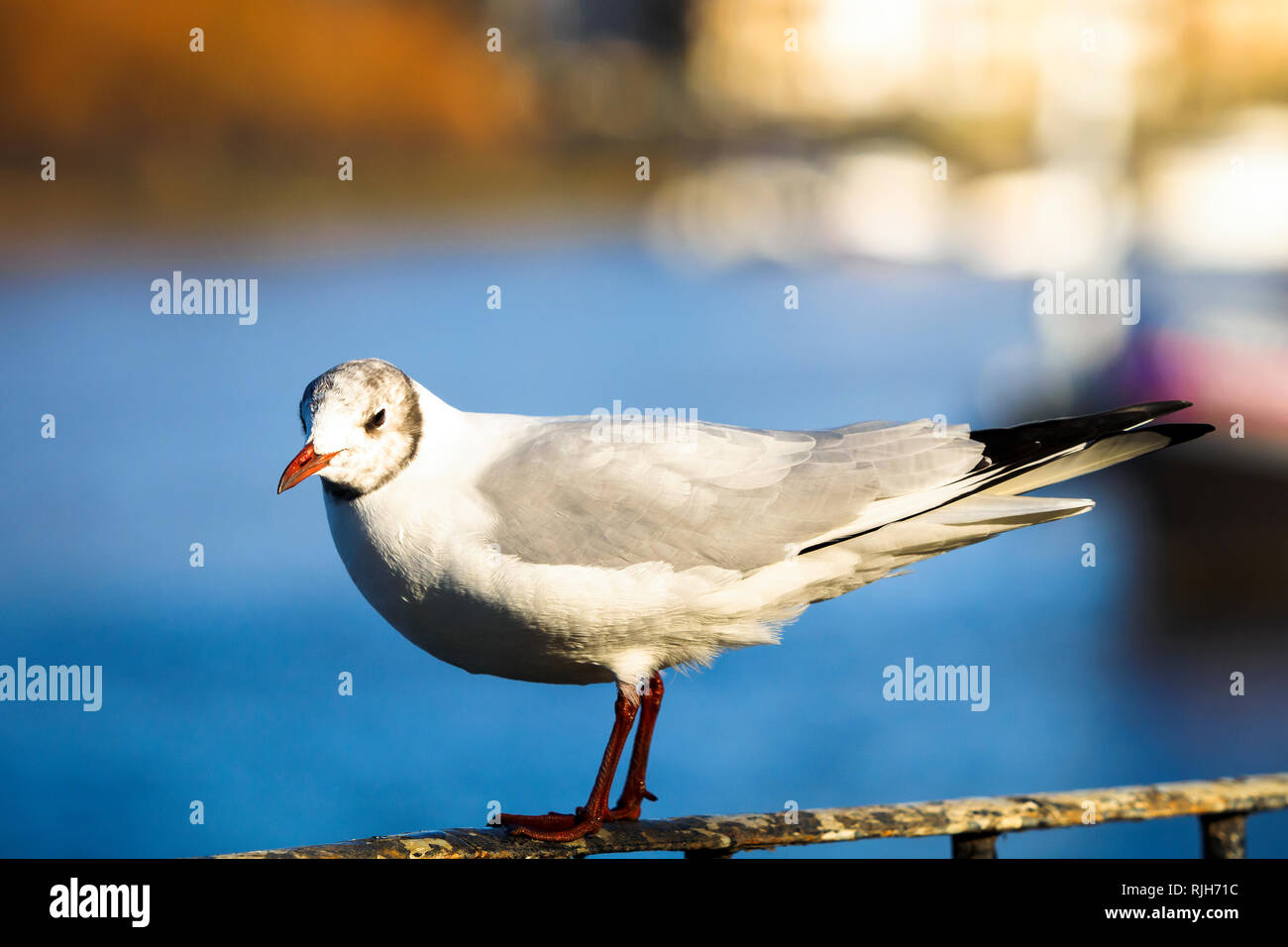 Seagull on a Railing by the River Thames in Wandsworth park - South West London, England - Stock Image