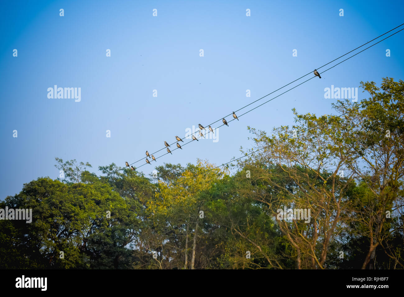 Flock of migrating Sparrow Birds sitting on a wire against the blue sky. Beautiful countryside rural summer landscape of a rural Indian village. Stock Photo