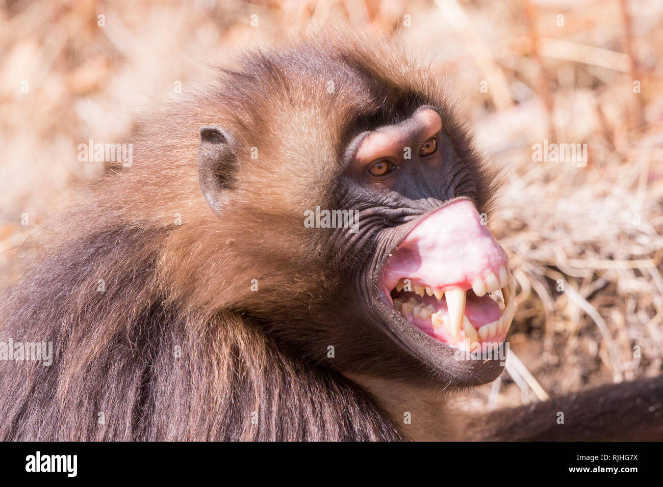 Gelada Baboon (Theropithecus gelada). Male in intimidation posture, roll up the chops to show a large clear spot. Ethiopia - Stock Image