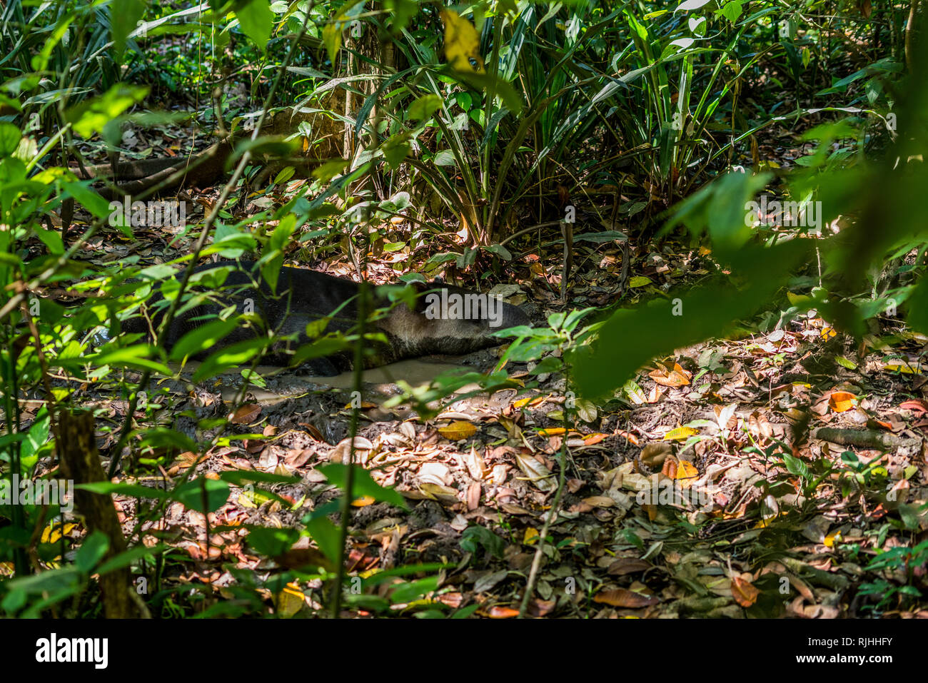 A Baird's tapir (Tapirus bairdii) laying in a mud during a hot day in the beautiful tropical rain forest of Corcovado National Park. Sirena Station. - Stock Image