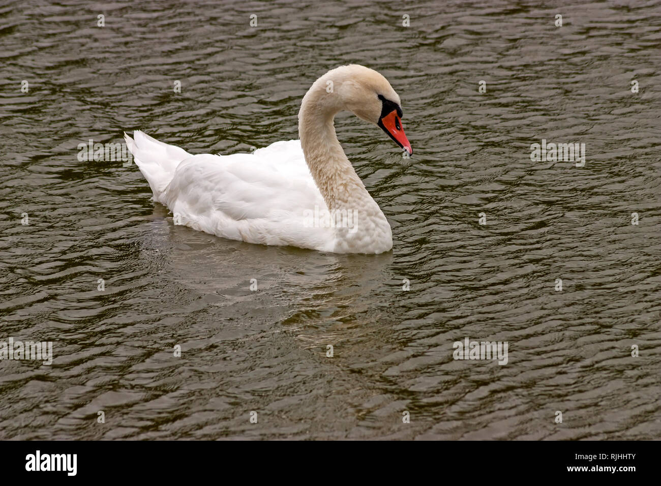 The white swan swimming on pond. - Stock Image