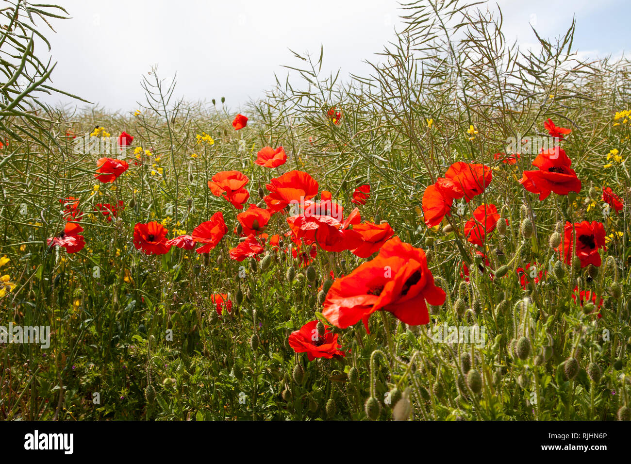 Common red poppies Papaver rhoeas  at eye level in a field together with other wild plants. - Stock Image