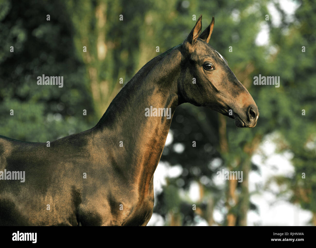 Surprised dark bay Akhal Teke horse beside trees in summer looking at the camera. Horizontal, side view, portrait. Stock Photo