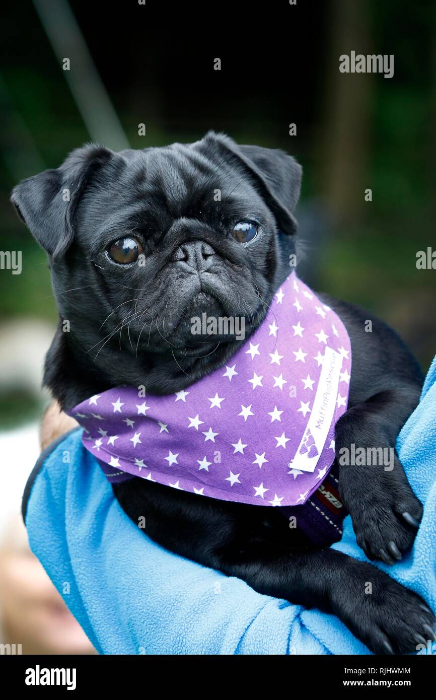 Cassie, 3, wearing the charity bandana, was fostered then adopted by charity volunteer, one of dozens of owners and their pugs join the Pug Walk in ai - Stock Image