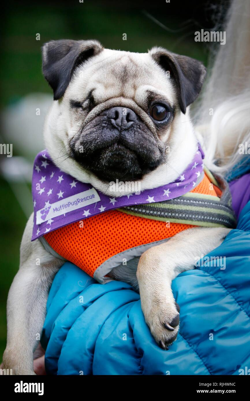 One eyed rescued pug, Mikey, 2, was fostered then adopted by charity volunteer, one of dozens of owners and their pugs join the Pug Walk in aid of the - Stock Image