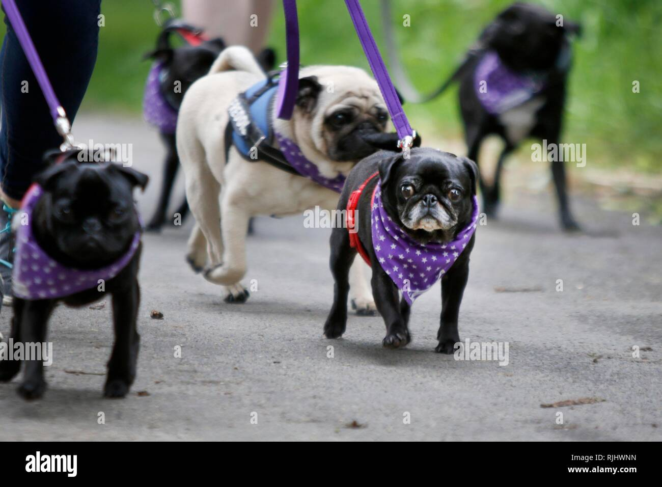 Lots of love for pugs as dozens of owners and their pugs join the Pug Walk in aid of the MuffinPug Rescue charity, held on the Colesbourne Estate, Glo - Stock Image