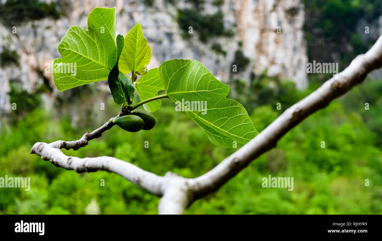 Unripe fig fruit by early spring, Italy. - Stock Image