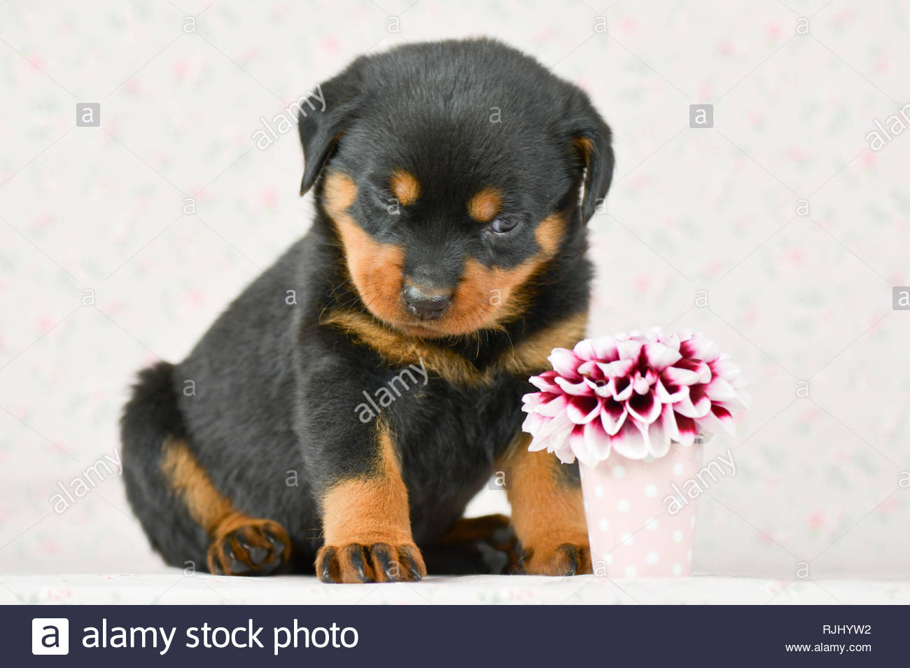 Rottweiler. A puppy (5 weeks old) gives a dahlia flower a very critical look. Studio picture. Germany - Stock Image
