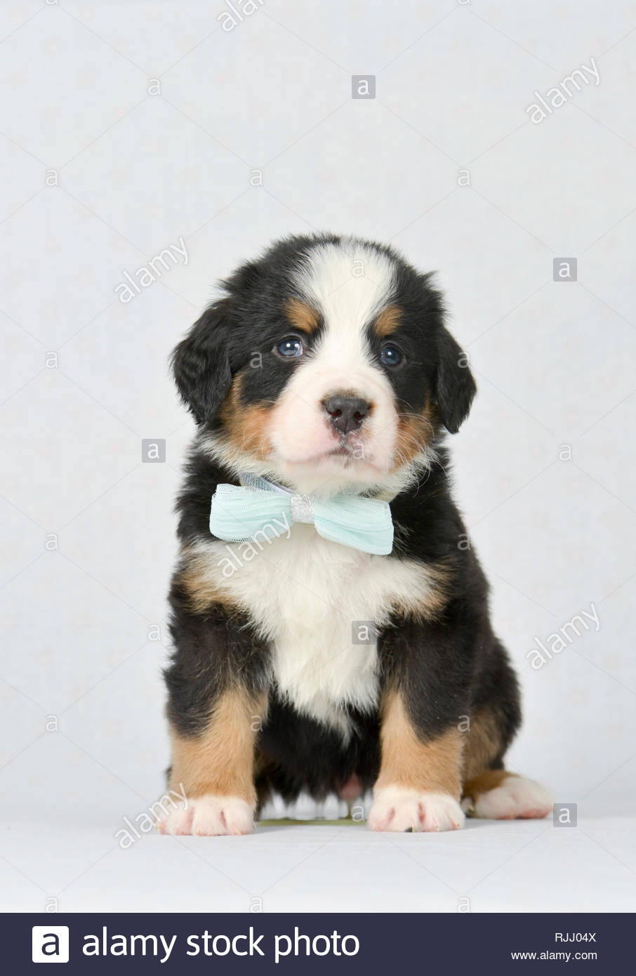 Bernese Mountain Dog. Puppy (5 weeks old) sitting, wearing turquoise bow tie. Studio picture. Germany - Stock Image