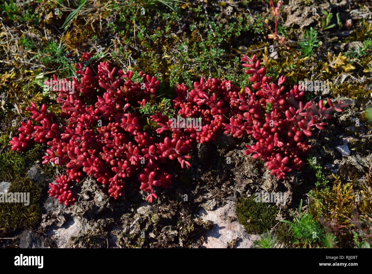 White Stonecrop (Sedum album). The fleshy plant is in winter until the beginning of the growing season deep red and then becomes green. Germany - Stock Image